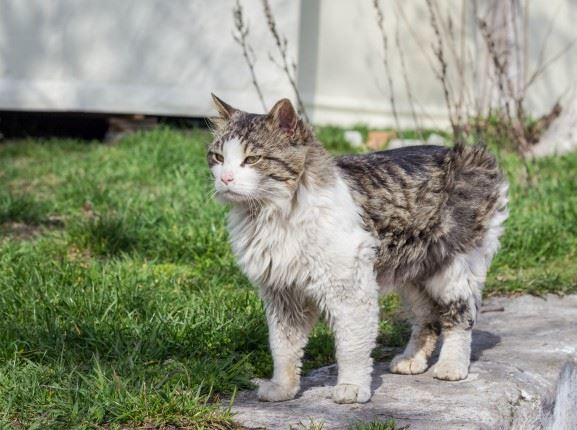 Grey Tabby & White Cat standing in the grass